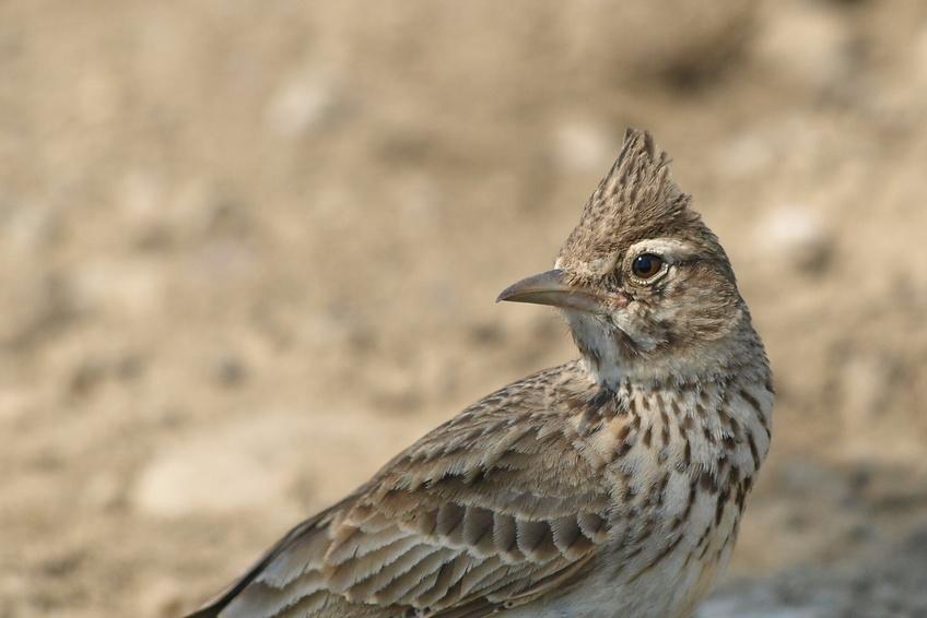 Cochevis hupp dans le luberon for Oiseau longue queue ventre jaune